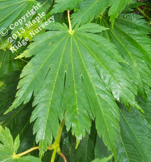 Acer_japonicum_Attaryi_June_Maple_Ridge_Nursery.jpg