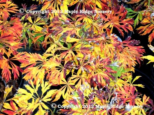 Acer japonicum 'Green Cascade