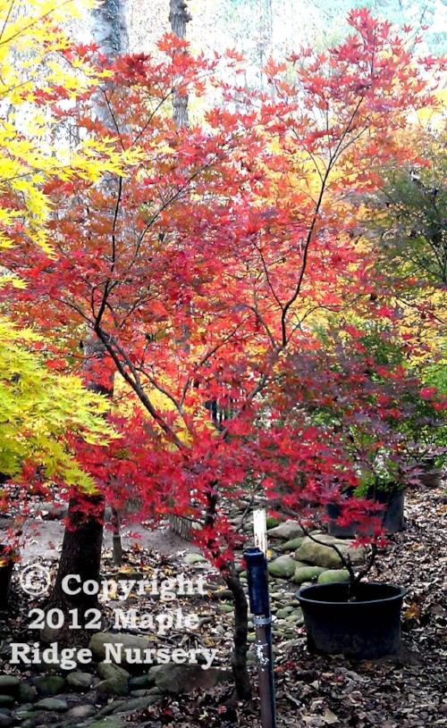 Acer_palmatum_Aka_Shigitatsu_sawa_November_2013_Maple_Ridge_Nursery.jpg