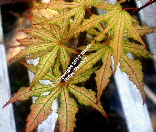 Acer_palmatum_Amber_Ghost_April_2009_Maple_Ridge_Nursery.jpg