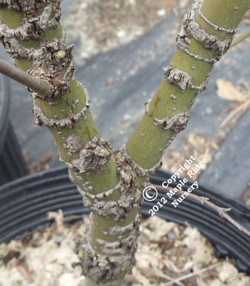 Acer_palmatum_Arakawa_Maple_Ridge_Nursery.jpg