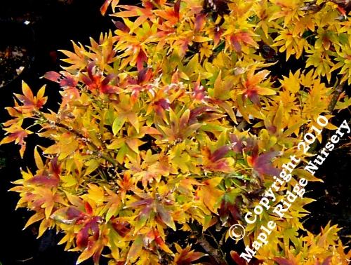 Acer_palmatum_Aratama_November_Maple_Ridge_Nursery.jpg