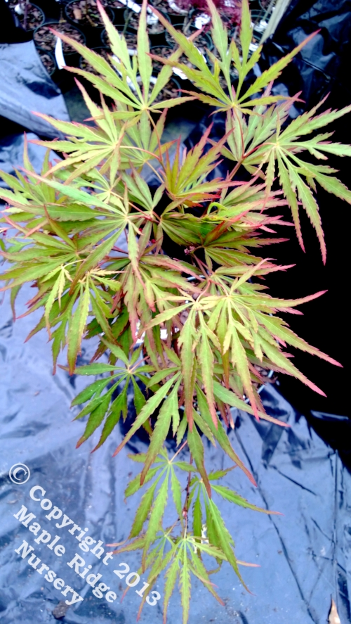 Acer_palmatum_Autumn_Fire_April_2013_Maple_Ridge_Nursery.jpg