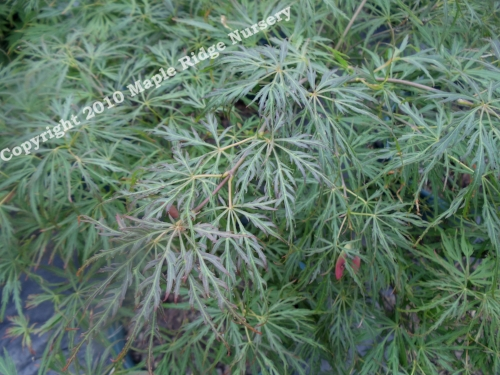 Acer_Palmatum_Baldsmith_May_Maple_Ridge_Nursery_2010.jpg