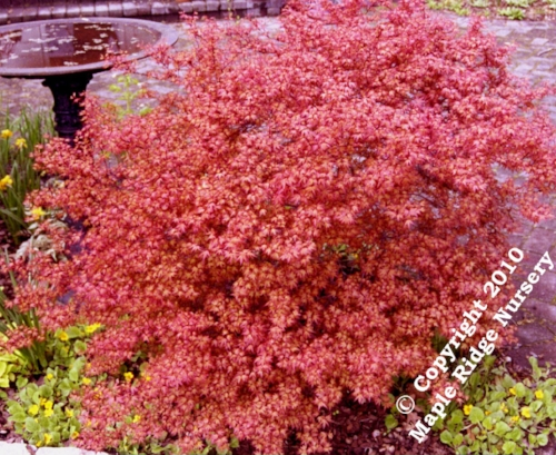 Acer_palmatum_Beni_hime_April_Maple_Ridge_Nursery.jpg