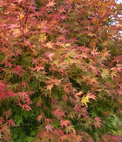 Acer_palmatum_Beni_kawa_November_Maple_Ridge_Nursery.jpg