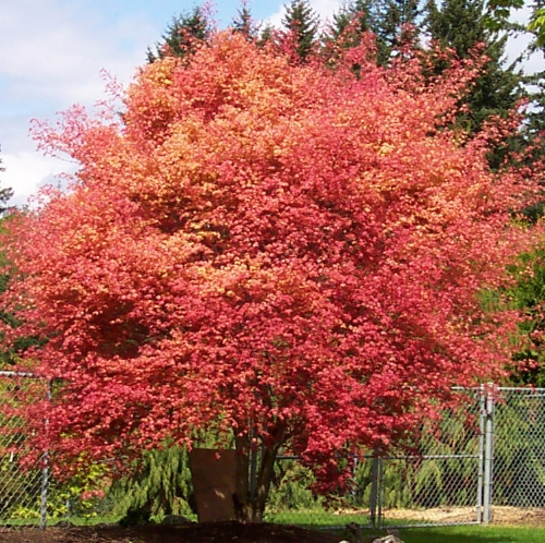 Acer_palmatum_Beni_maiko_November_Maple_Ridge_Nursery.jpg