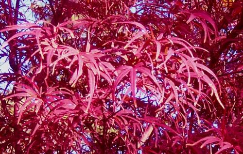 Acer_palmatum_Beni_otake_November_Maple_Ridge_Nursery.JPG