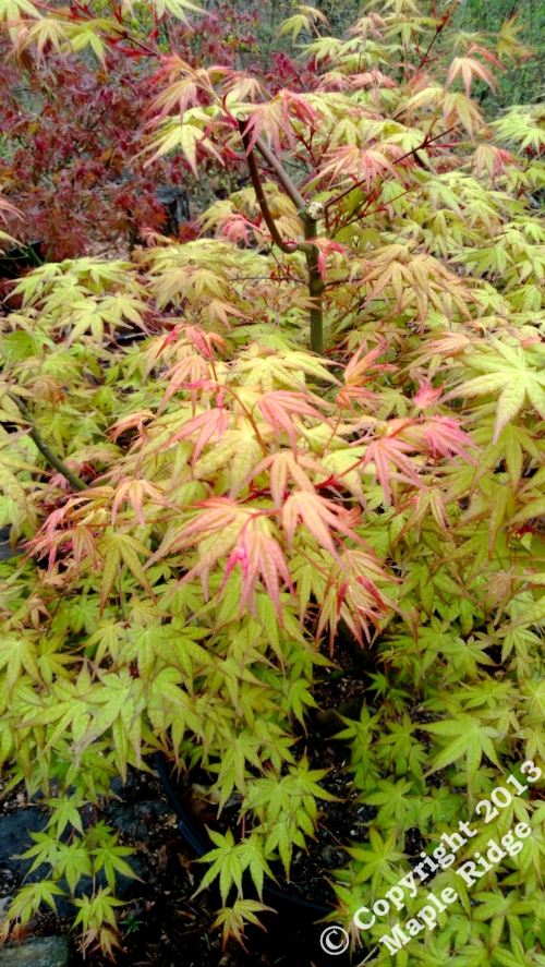 Acer_palmatum_Beni_tsukasa_April_2013_Maple_Ridge_Nursery.jpg