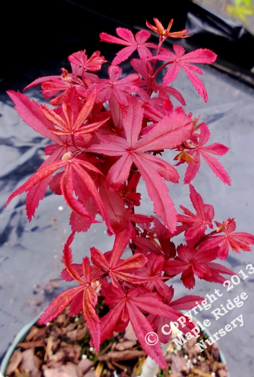 Acer_palmatum_Briellas_Broom_April_2013_Maple_Ridge_Nursery.jpg