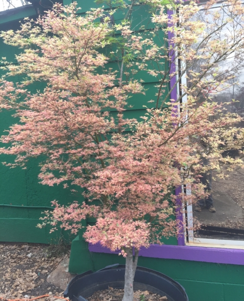 Acer_Palmatum_Butterfly_March_23_2017_Maple_Ridge_Nursery.jpg