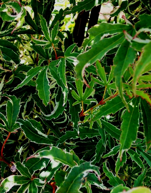 Acer_palmatum_Butterfly_July_Maple_Ridge_Nursery.jpg