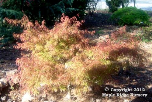 Acer_palmatum_Chantilly_Lace_April_2009_Maple_Ridge_Nursery_2.jpg