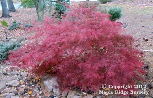 Acer_palmatum_Chantilly_Lace_November_2011_Maple_Ridge_Nursery.jpg