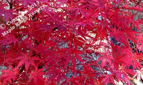 Acer_palmatum_Chitose_yama_November_2011_Maple_Ridge_Nursery.jpg