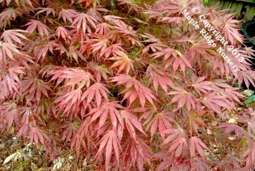 Acer_palmatum_Chetose_yama_April_2013_Maple_Ridge_Nursery.jpg