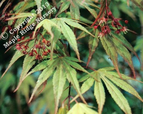 Acer_palmatum_Chitose_yama_Exbury_April_Maple_Ridge_Nursery.jpg