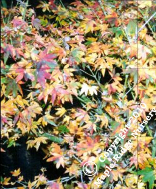 Acer_palmatum_Coonara_Pygmy_November_Maple_Ridge_Nursery.jpg