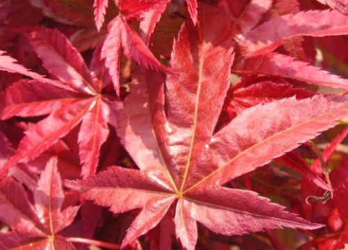 Acer_palmatum_Corallinum_April_Maple_Ridge_Nursery.jpg