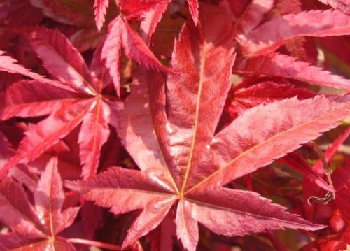 Acer_palmatum_Corallinum_April_Maple_Ridge_Nursery.jpg