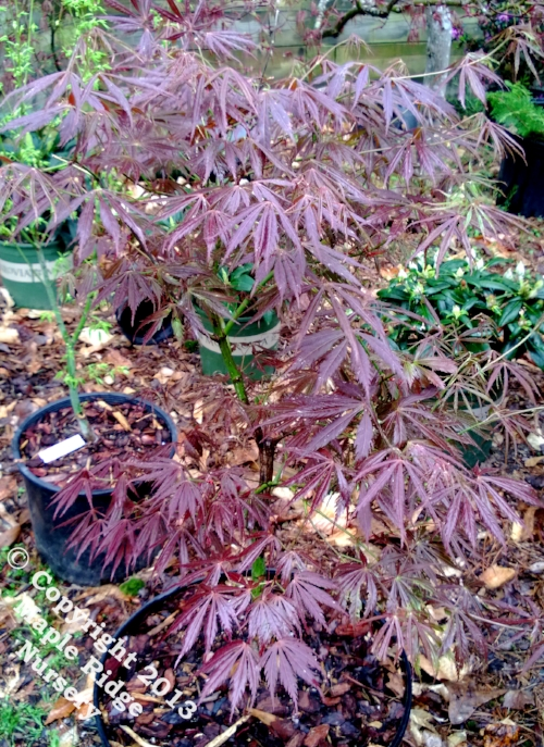 Acer_palmatum_Crimson_Carole_April_2013_Maple_Ridge_Nursery.jpg