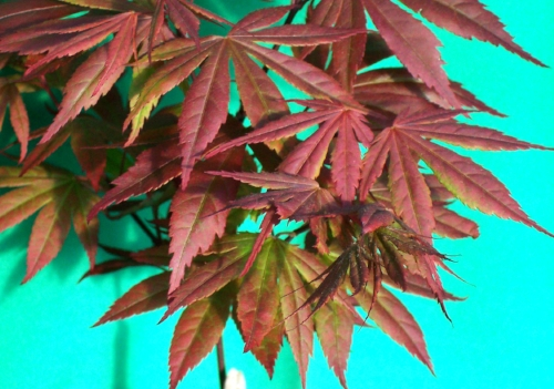 Acer_palmatum_Crimson_Prince_May_Maple_Ridge_Nursery.jpg