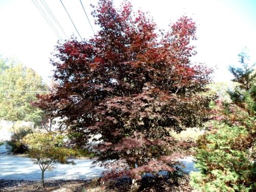 Acer_palmatum_Crimson_Prince_October_2010_Maple_Ridge_Nursery.jpg