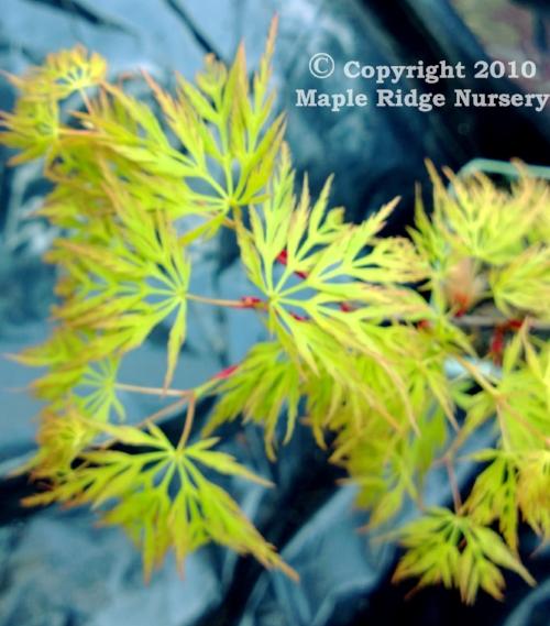 Acer_palmatum_Emerald_Lace_April_2013_Maple_Ridge_Nursery.jpg