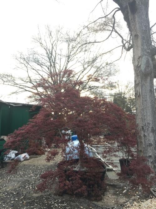 Acer_Palmatum_Ever_Red_March_23_2017_Maple_Ridge_Nursery.jpg