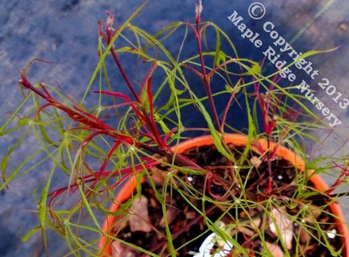 Acer_palmatum_Fairy_Hair_March_2013_Maple_Ridge_Nursery.jpg