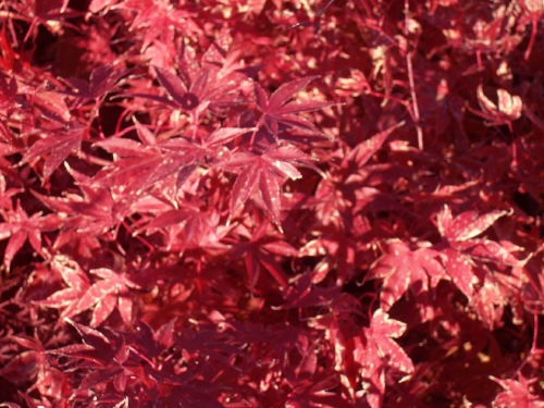 Acer_Palmatum_Fireglow_November_Maple_Ridge_Nursery.jpg