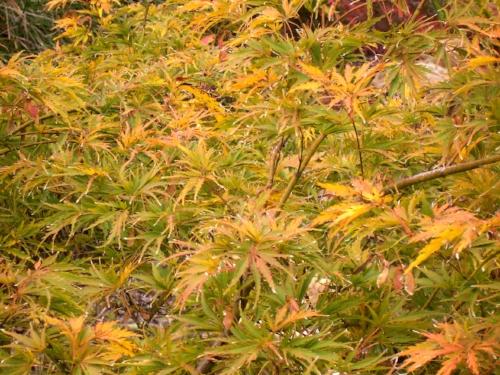 Acer_palmatum_Germaines_Gyration_November_2013_Maple_Ridge_Nursery.jpg
