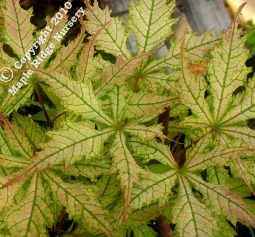 Acer_palmatum_Grandmas_Ghost_April_2009_Maple_Ridge_Nursery.jpg