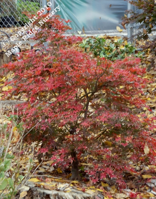 Acer_palmatum_Grandmas_Ghost_November_2010_Maple_Ridge_Nursery.jpg