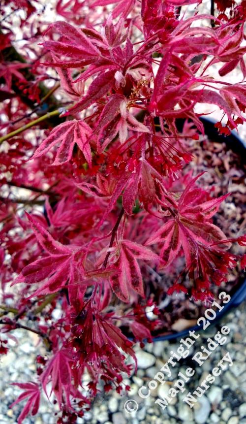 Acer_palmatum_Gwens_Rose_Delight_April_2013_Maple_Ridge_Nursery.jpg