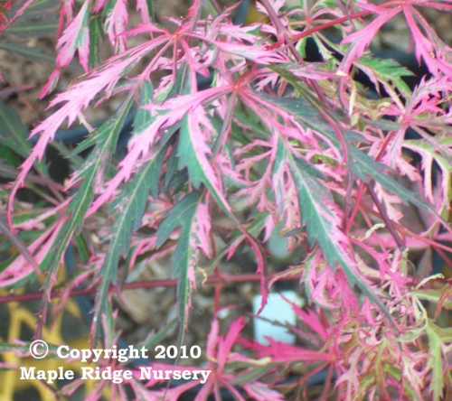 Acer_palmatum_Hana_Matoi_June_Maple_Ridge_Nursery_2010.jpg