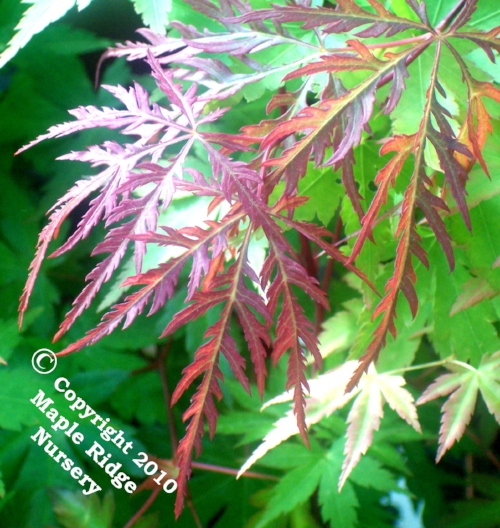 Acer_palmatum_Heartbeat_April_2009_Maple_Ridge_Nursery.jpg
