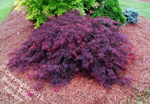 Acer_palmatum_Heartbeat_April_2013_Maple_Ridge_Nursery.jpg