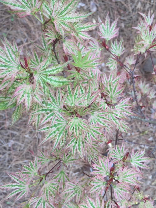 Acer_Palmatum_Higasa_Yama_March_27_2017_Maple_Ridge_Nursery_1.jpg