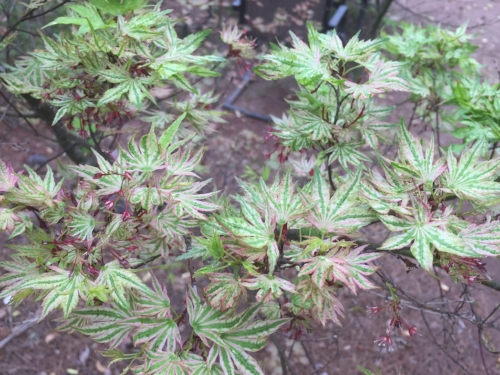 Acer_Palmatum_Higasa_Yama_March_27_2017_Maple_Ridge_Nursery_2.jpg