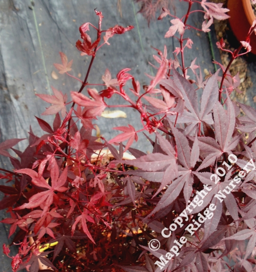 Acer_palmatum_Hime_shojo_April_2012_Maple_Ridge_Nursery.jpg