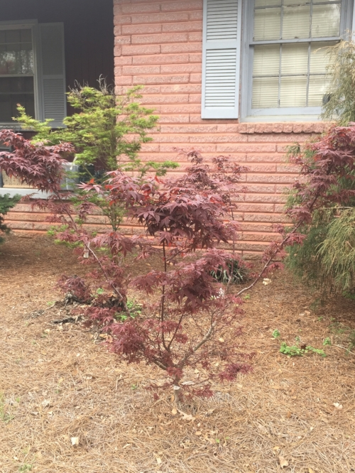 Acer_Palmatum_Hime_Shojo_March_27_2017_Maple_Ridge_Nursery.jpg