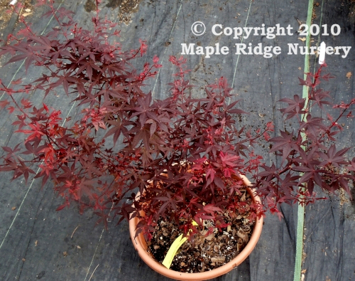 Acer_palmatum_Hime_shojo_April_2012_Maple_Ridge_Nursery_1.jpg