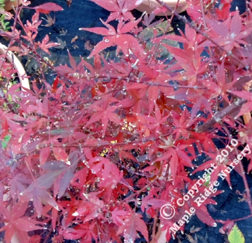 Acer_palmatum_Hime_shojo_November_2012_Maple_Ridge_Nursery.jpg