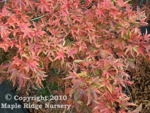 Acer_palmatum_Hoshi_Kuzu_October_Maple_Ridge_Nursery.jpg