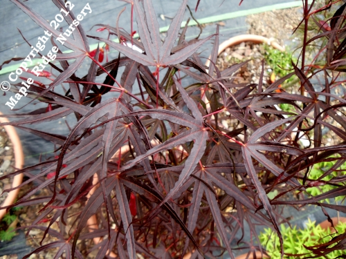 Acer_palmatum_Hubbs_Red_Willow_June_2012_Maple_Ridge_Nursery.jpg
