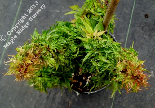 Acer_palmatum_Hupps_Dwarf_April_2012_Maple_Ridge_Nursery_1.jpg