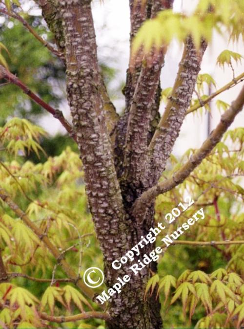 Acer_palmatum_Ibo_nishiki_Maple_Ridge_Nursery.jpg