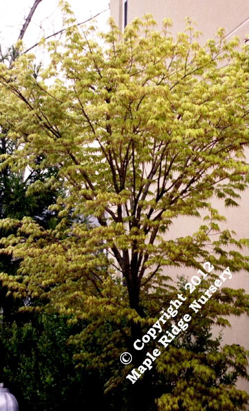 Acer_palmatum_Ibo_nishiki_Maple_Ridge_Nursery_1.jpg