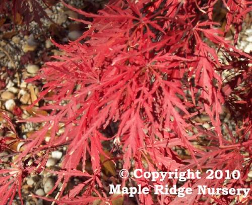 Acer_palmatum_Inaba_shidare_November_Maple_Ridge_Nursery.jpg